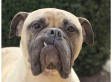 Big Love, Wagging Tails: These Giant Dogs Are Looking For Homes! (PHOTOS)