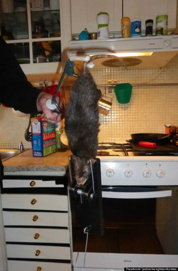 kitchen rat