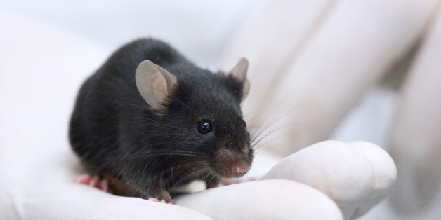 a research on mouse Australia's largest investment into mouse-related research in the grains industry  was announced today by the grains research and.