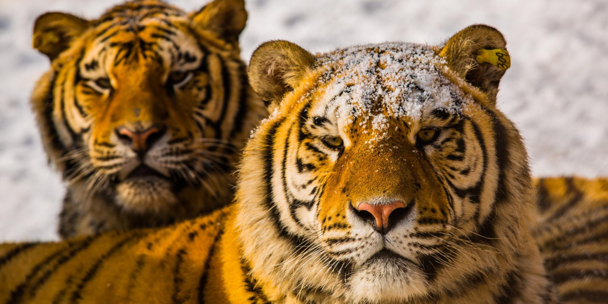 tiger - photo #8