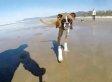 Two-Legged Boxer Dog's First Beach Trip Is Jealousy-Inducing Fun In The Sun