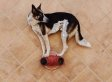 This Dog Who Can Balance On Anything Really Needs His Own Act