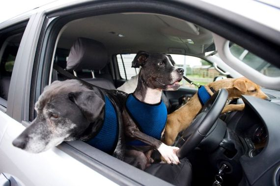 vw dogs driving april fools