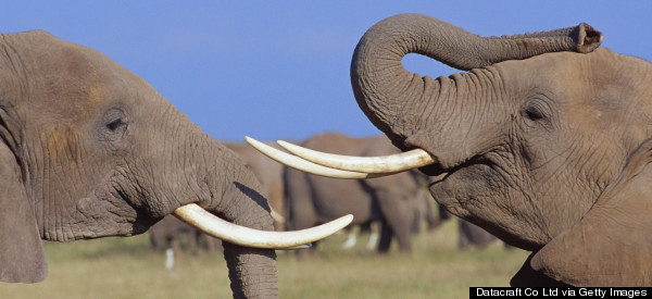 The Government Must Take Opportunity To Close Ivory Market