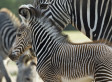 Researchers Discover Why Zebras Have Stripes