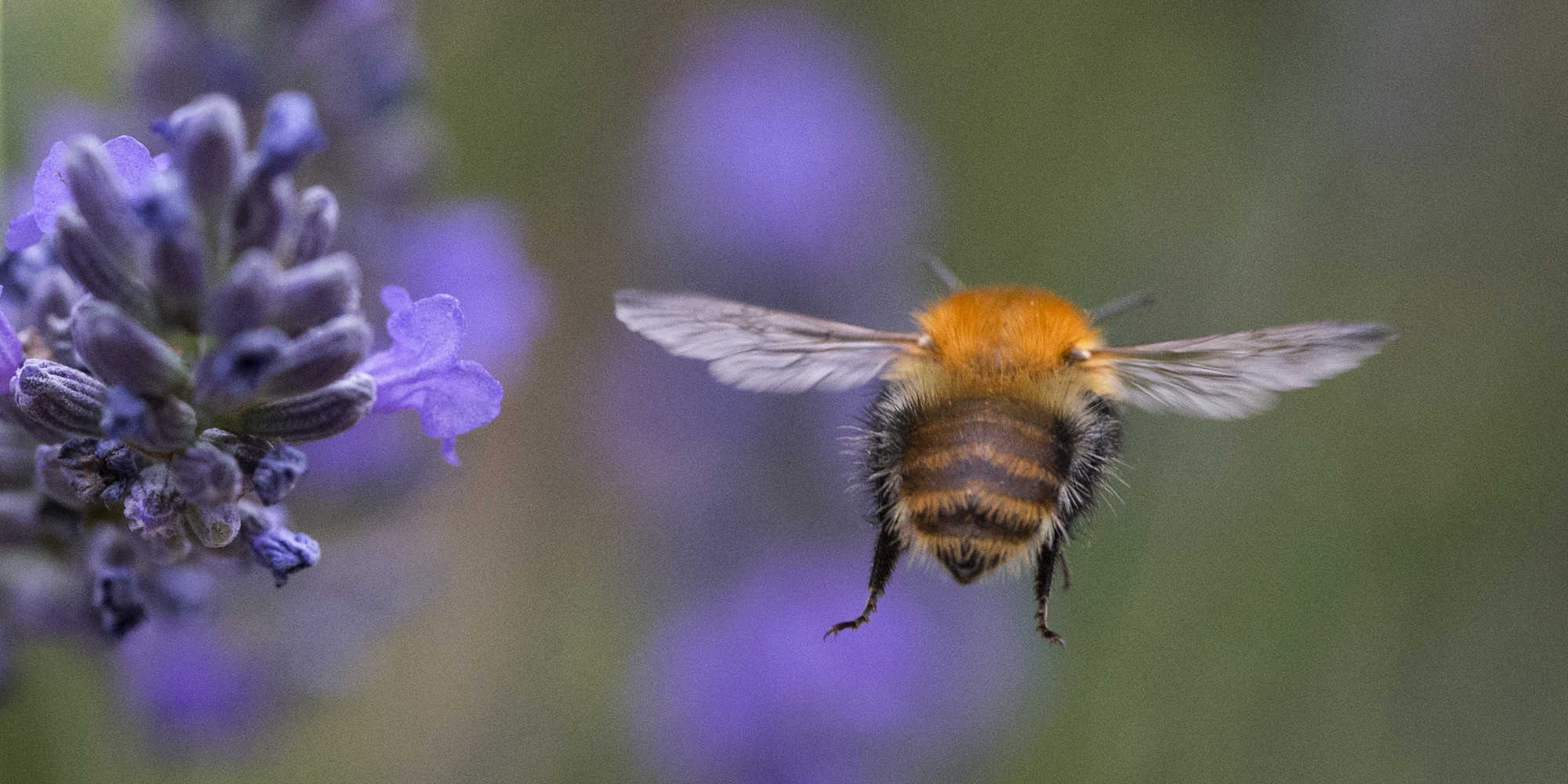 a quarter of europe u0026 39 s bumblebees  vital to agriculture