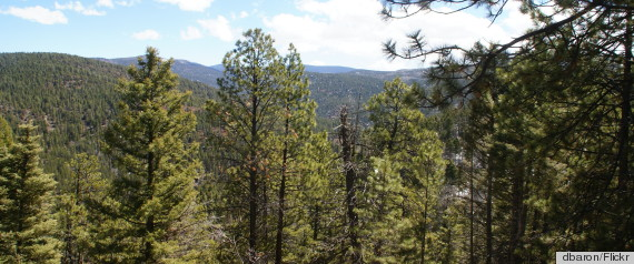 pine forest new mexico