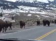Yellowstone Supervolcano: Why Are Animals Mysteriously Fleeing National Park?
