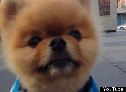 Here's Your Astonishing Pomeranian Pet Trick For The Day