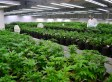 Tweed Inc's Q1 Earnings Results Point To Growing Pains In Medical Pot Biz