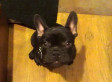 French Bulldog Puppy Arguing Over Bedtime Is Everything