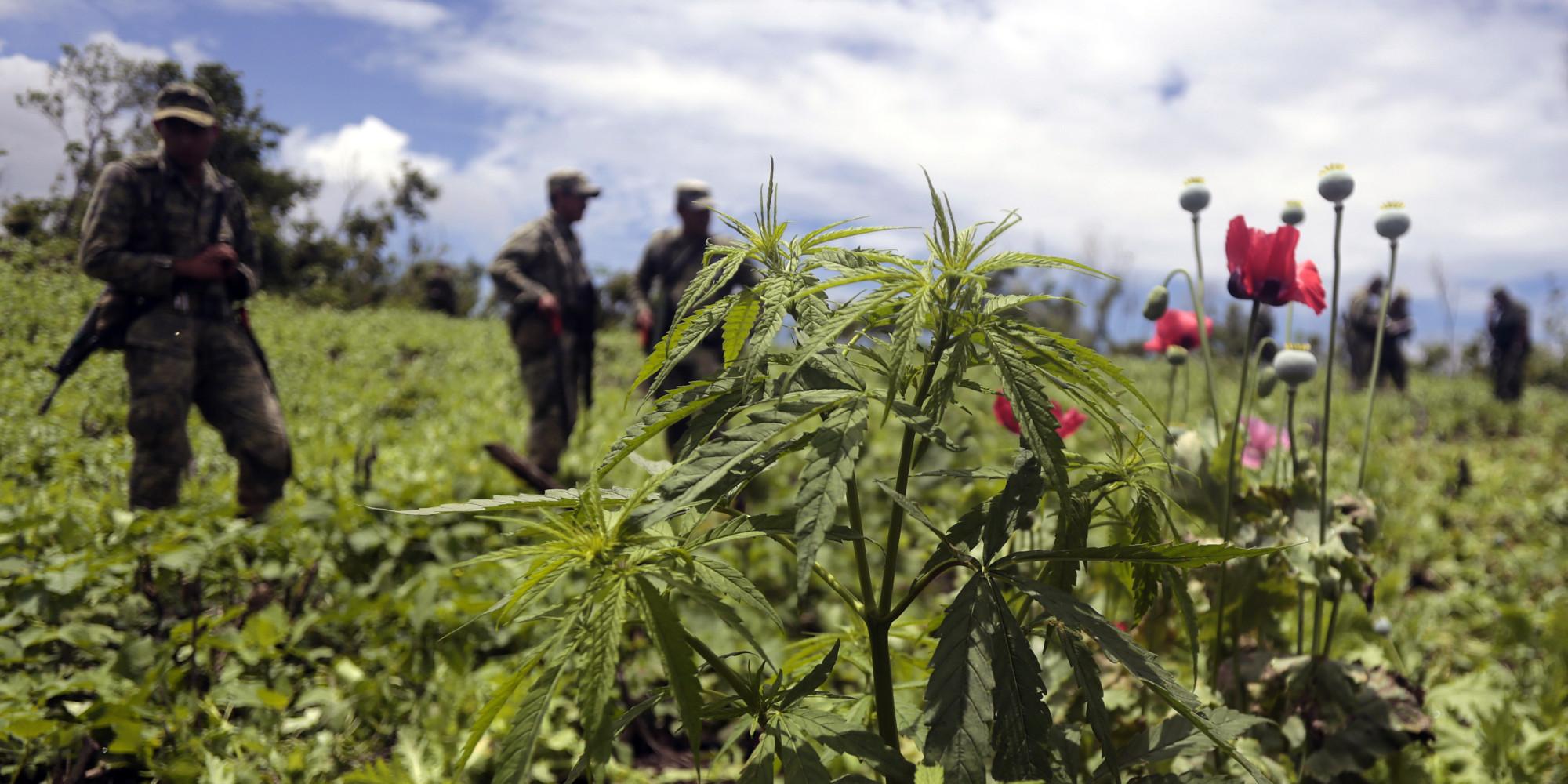 Resultado de imagen para mexican cannabis