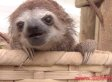 You've Never Known Love Until You've Heard A Baby Sloth Squeak (VIDEO)