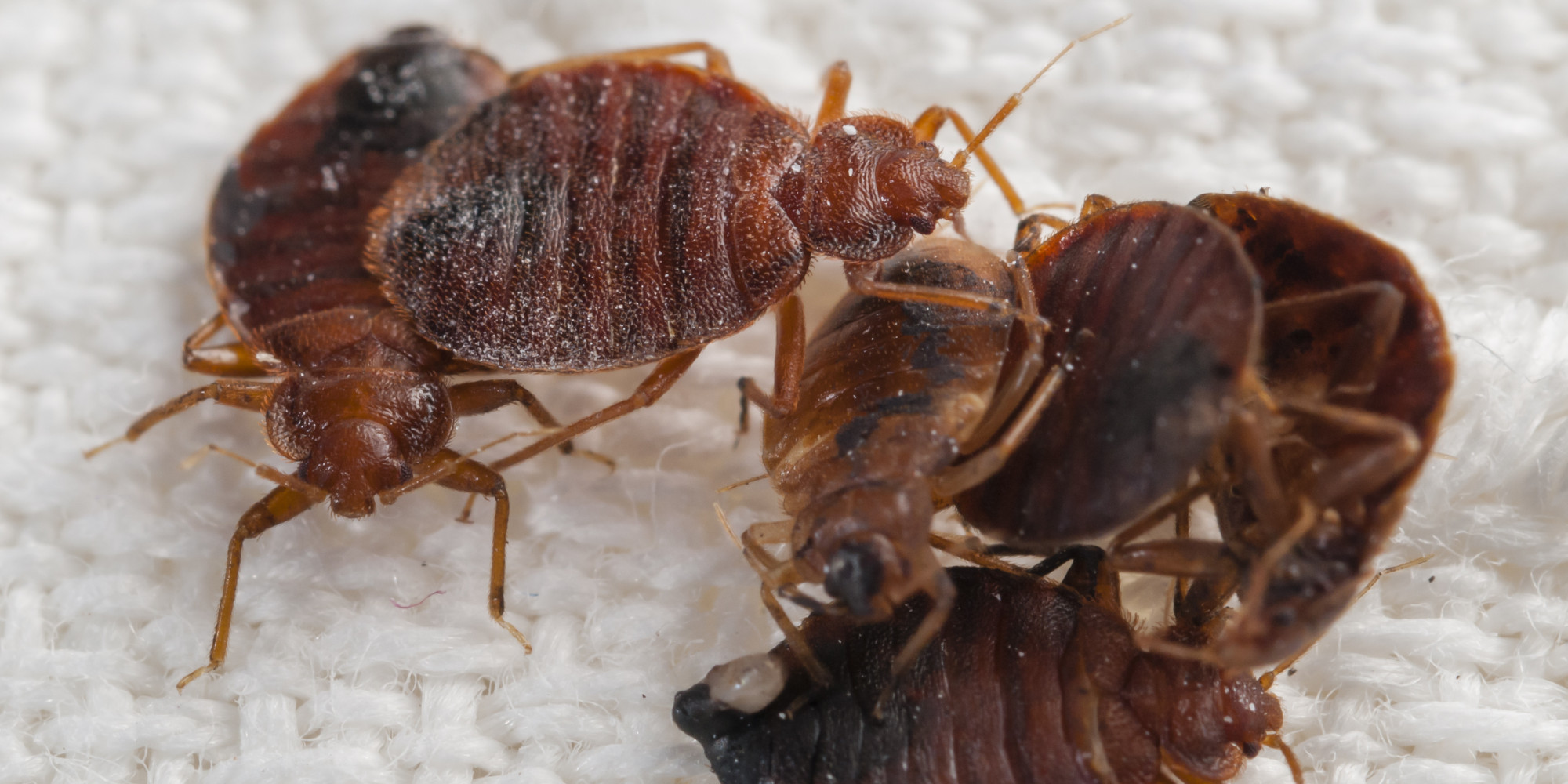 What Is A Bed Bugs Purpose