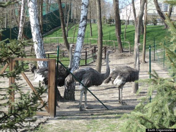 ostrich yanukovych