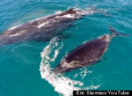 WATCH: Whales Outdo Viral Pipeline Video In The Most Incredible Way