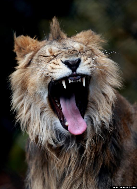 lion bristol zoo
