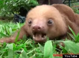 You Know What This Day Needs? Squeaking Baby Sloths