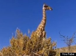 You'll Never Look At A Giraffe The Same Way Again