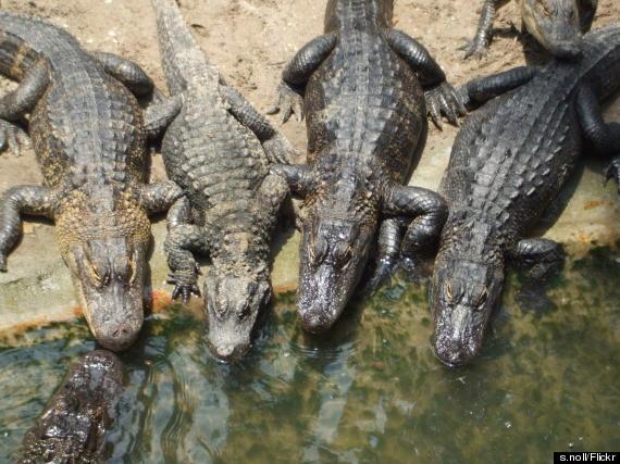 stugustine alligator farm