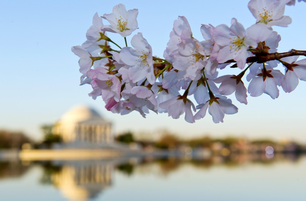 washington dc cherry blossoms 2014