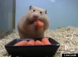 Tiny Hamster Inhales 5 Baby Carrots In Seconds
