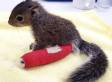 Baby Squirrel Breaks Her Ankle. Wears A Pink Cast, Obviously (PICTURE)