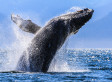 Humpback Whale Removed From 'Threatened' Species List