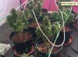 Toddler Leads Cops To Parents' Cannabis Farm
