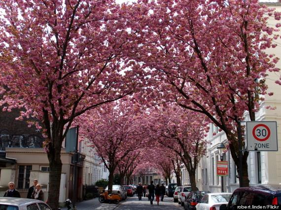 bonn cherry blossom