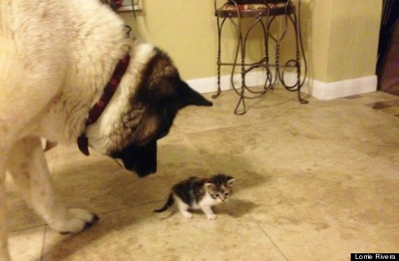 guard dog kitten
