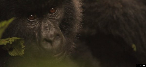 'Virunga' Debuts At Tribeca Days After Park Warden Shot