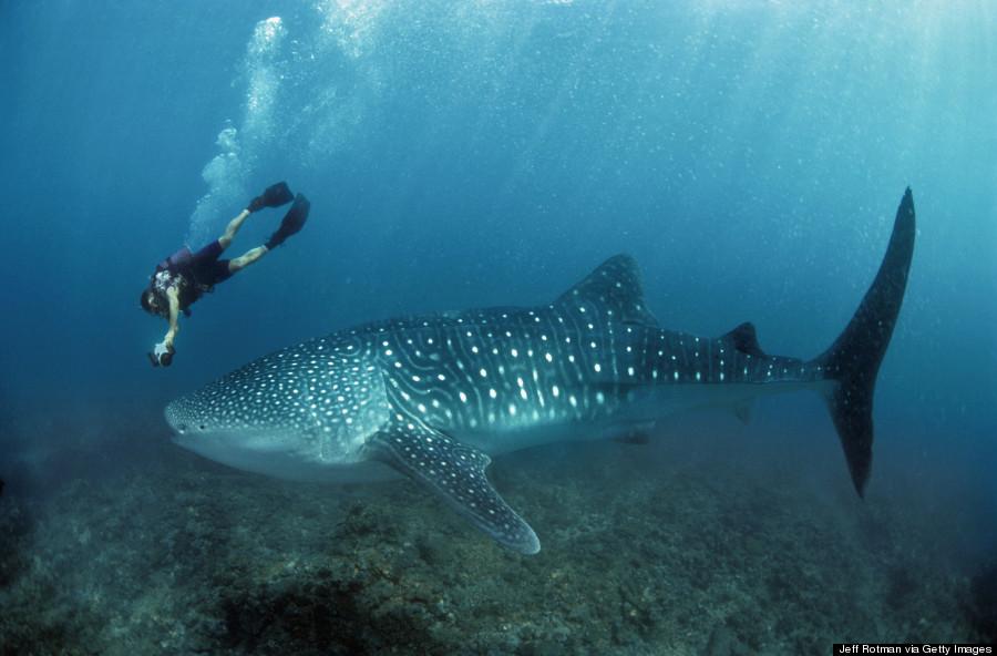 ningaloo whale shark