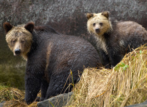 Grizzly Bear Rainforest