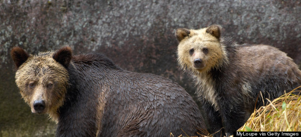 Why Does B.C. Gov't So Desperately Want Grizzly Bears Dead?
