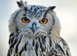 Missing Owl Found Safe And Sound