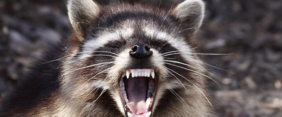 RACCOON ATTACK VANCOUVER