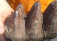 Michigan Boy Finds 10,000-Year-Old Mastodon Tooth