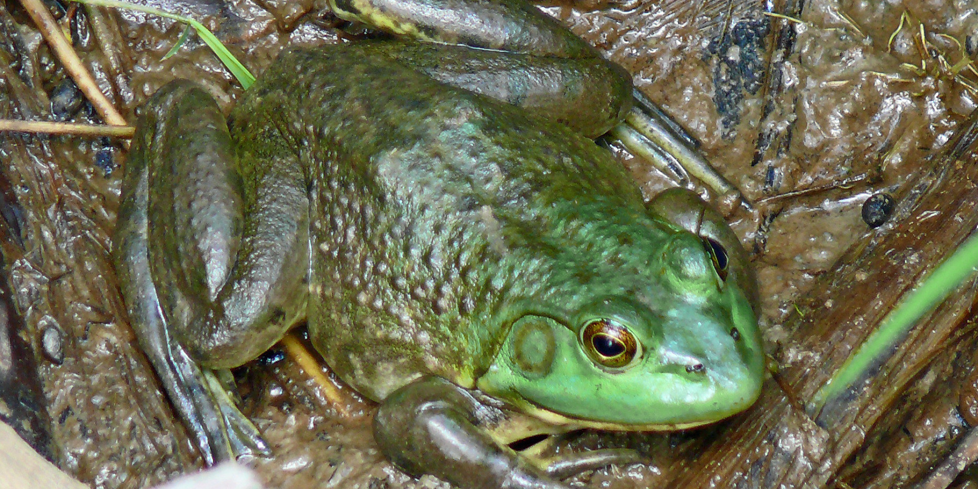 American Bullfrog Vancouver Island