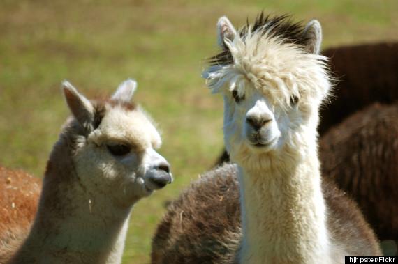 bay springs alpacas