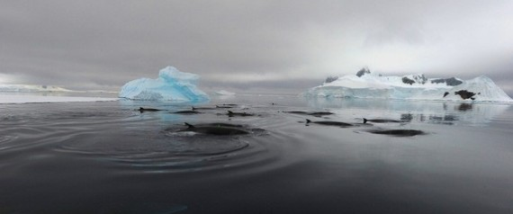 ANTARCTIC MINKE WHALE SOUNDS