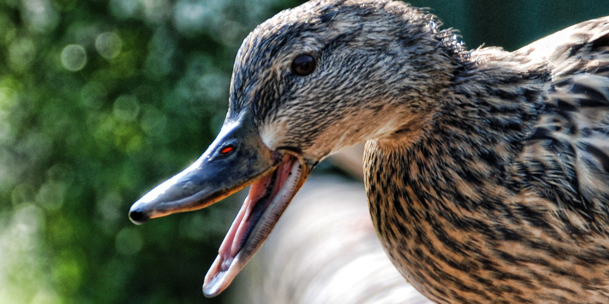 Duck Mouth Anatomy