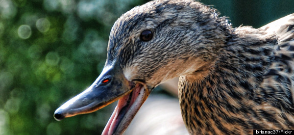 Pet Duck Attack Lands Owner $275,000 Lawsuit