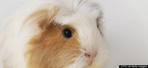 Is America Ready For Farm-To-Table Guinea Pig?