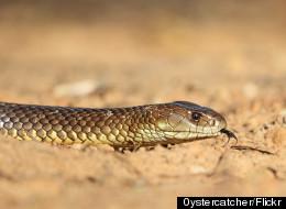 Snakebite Study Yields Big Surprise About Australian Species