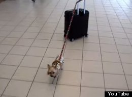 WATCH: Tiny Dog Pulls Huge Suitcase Through Airport