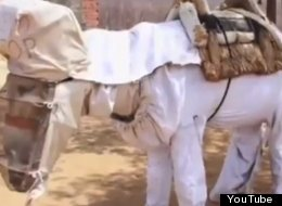WATCH: Boneco The Beekeeping Donkey Is A Sweet Success