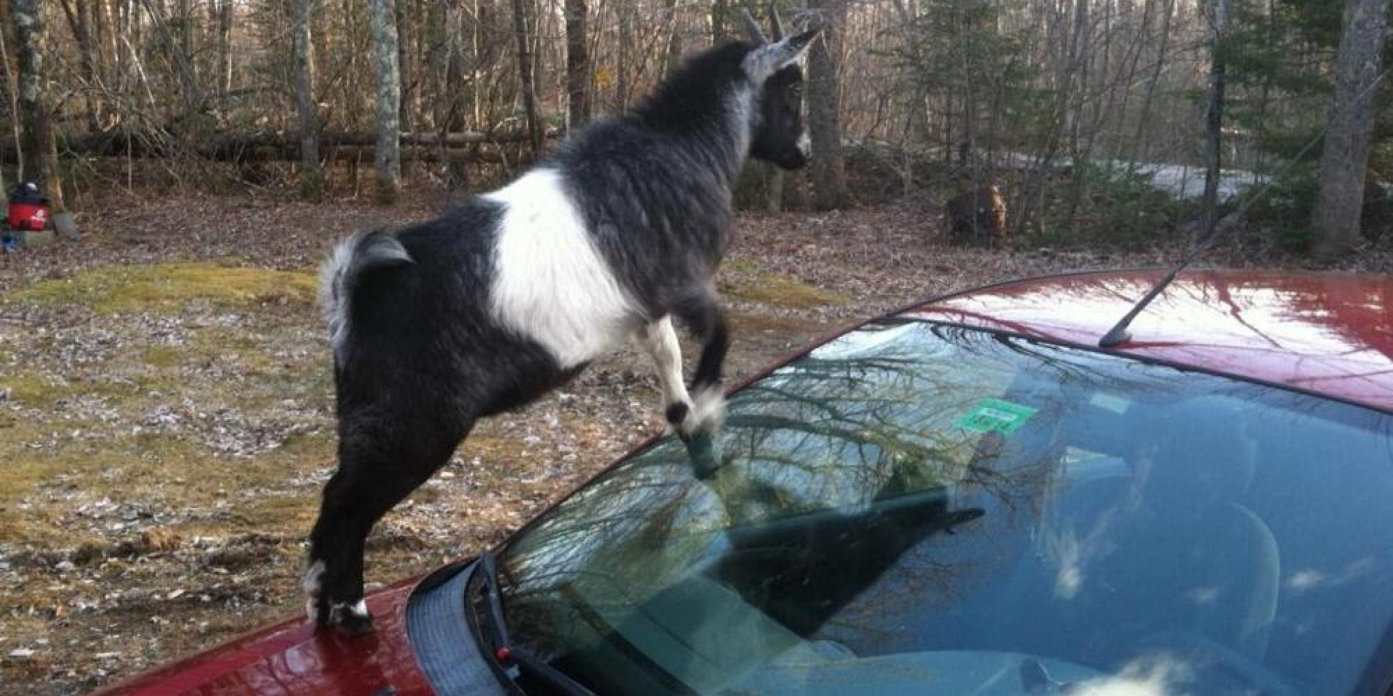 Goats Attack Car In Maine Huffpost