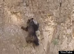 WATCH: Yes, Bears Can Climb Rocks