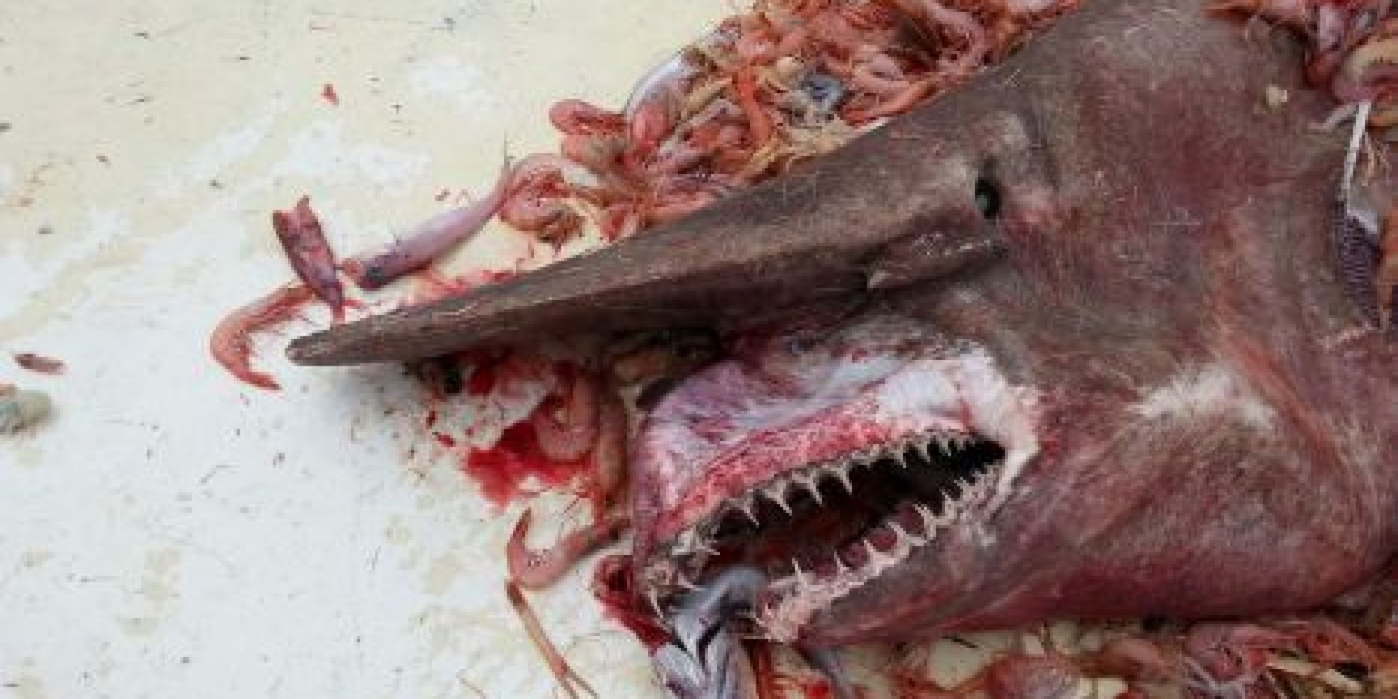Shark Eating Man Drawing Rare Goblin Shark Caught by